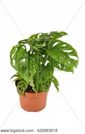 Tropical Houseplant With Botanic Name 'monstera Adansonii', Also Called 'monstera Monkey Mask' In Fl