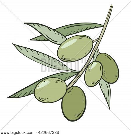 Green Olives On A Branch With Leaves, Vector. A Plucked Handful Of Olives. Oilseed Crop, Farm Harves