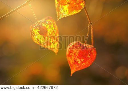 Physalis.cape Gooseberry In The Rays Of Light .autumn Beautiful Plant Background .orange Chinese Lan