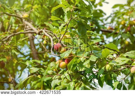 Plums Ripen On A Branch On A Sunny Day - Beautiful Summer Background