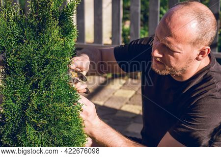 Lifestyle Portrait Of Young Adult Bald Man Who Cuts Thuja Branches With A Pruner