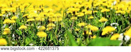 Beautiful Nature, Field Of Yellow Dandelions, Flowering Dendelion Flowers In Meadow