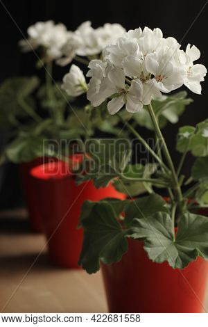 White Pelargonium In Red Pots. Domestic Flowers. Blurred Background.