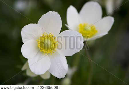 Anemone Sylvestris. Delicate Flowers In The Garden, In The Flowerbed. Floral Background. Beautiful D
