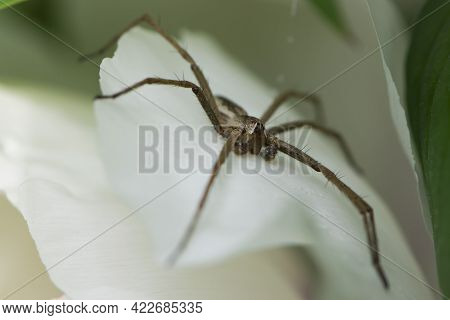 Spider. Large Spider With Long Legs On White Leaves Of A Flower. Spider Eyes, Close-up. Macro Photo