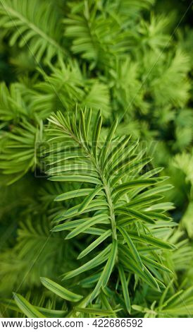 Closeup Photo Of Green Needle Pine Or Spruce Tree As Natural Background. Natural Fir-needle Branches