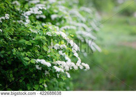Blossom Of Spirea Nipponica Snowmound In Springtime. White Flowers Of Spirea In Garden. Decorative F