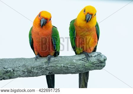 Two Jenday Conures (aratinga Jandaya) Perched In A Tree, Also Known As Jandaya Parakeet Is A Small N