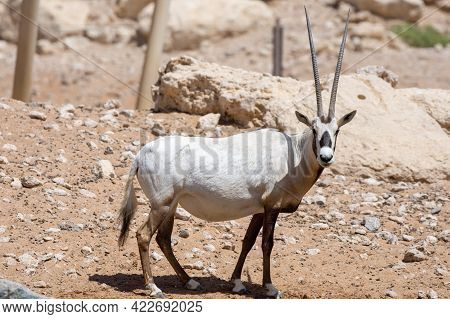An Arabian Oryx (oryx Leucoryx) Critically Endangered Resident Of The Arabian Gulf Stands In The Hot