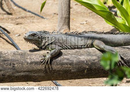 A Green Iguana (iguana Iguana) Sits On Tree Branch In Sunshine.