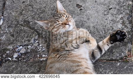 Tabby Cat Head Looking Into Camera And Screwing Up Eyes. Young Cat Purr And Stretch Cute Paws