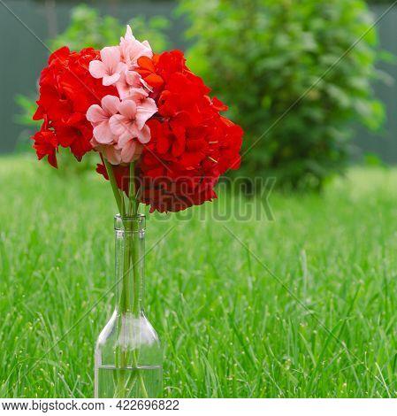 Red Garden Geranium Pelargonium Flowers Stand In The Garden On A Green Lawn