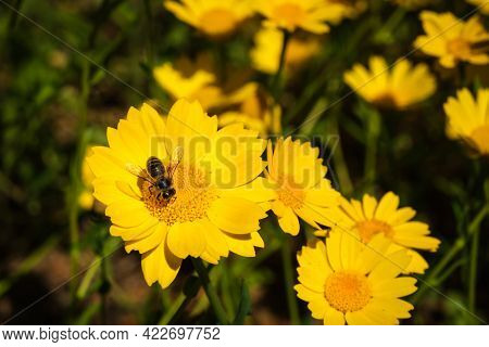 A Honey Bee Collecting Nectar From A Yellow Daisy Flower In Corsica