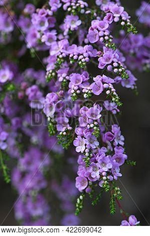 Spray Of Delicate Purple Flowers Of The Australian Native Shrub Thryptomene Denticulata, Family Myrt