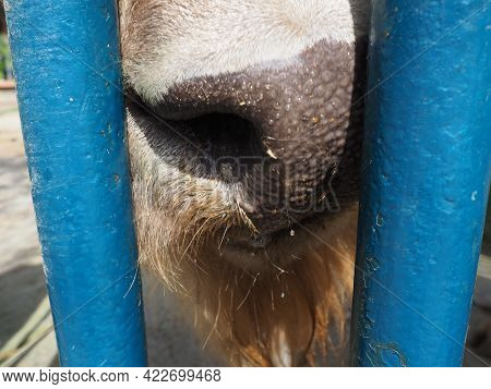 Bison, Or American Bison. Wet Nose Of A Bison. Cloven-hoofed Mammals From The Tribe Of Bulls Of The