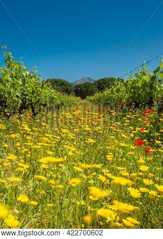 Wild Flowers And Poppies Dancing In The Wind Between Rows Of Vines In A Vineyard At Calvi In The Bal