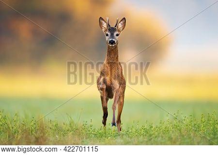 Fast Roe Deer Buck Coming Closer In Green Summer Nature