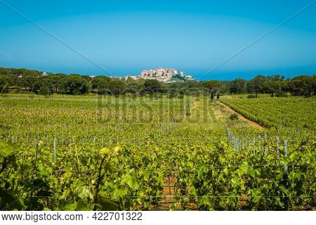 Rows Of Vines In A Vineyard In The Balagne Region Of Corsica With The Citadel Of Calvi In The Distan