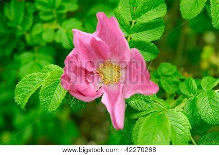 Rose ( Rosa Rugosa ) Flower