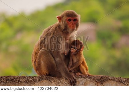Mother Monkey Sitting On Wall With Baby Monkey