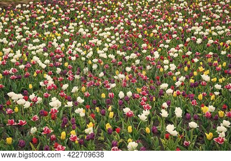 Flowers Need Good Care. Group Of Colorful Holiday Tulip Flowerbed. Blossoming Tulip Field. Spring La