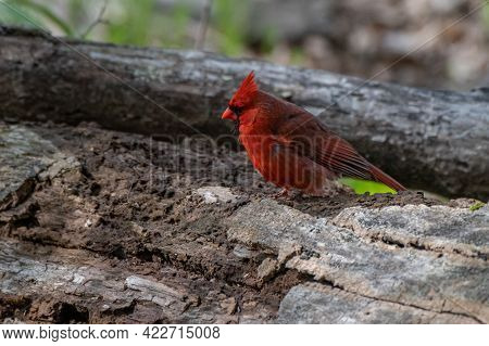 Male Northern Cardinal Bird In Michigan - Usa