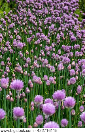 Flower With Bud Of Chives Allium Schoenoprasum In The Spring Farm Garden. Photography Of Lively Natu