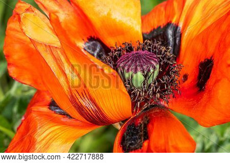 Close-up Of Red Papaver Orientale In The Spring Garden. Macro Photography Of Lively Nature.