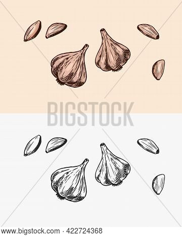 Garlic In Vintage Style. Seasoning Or Condiment For Food. Engraved Hand Drawn Sketch.