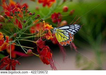 Butterflies are insects in the macrolepidopteran clade Rhopalocera from the order Lepidoptera, which