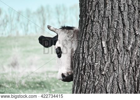 Half A Horned Cow\'s Face. A Funny Cow Looks Out From Behind A Tree. Cow\'s Head.