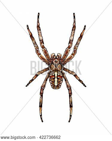 Spider Garden Spider Araneus A Kind Of Spider From The Family Of Spiders Orb-spiders Colored Drawing