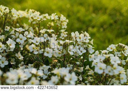 Close Up Of Garden Arabis Mountain Rock Cress White Flowers .arabis In Soft Warm Morning Sunbeams