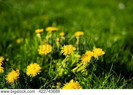 Yellow Dandelion Flowers . Dandelions Field Background On Spring Sunny Day. Blooming Dandelion. Medi