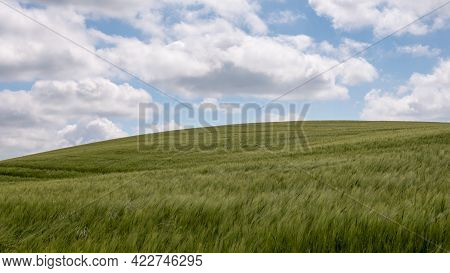 A Green Hillside Field Of Verdant Rye Under The Blue Curved Horizon, Denmark, June 2, 2021