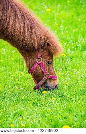 Brown Horse - Equus Ferus Caballus - On Fresh Green Grass In Spring