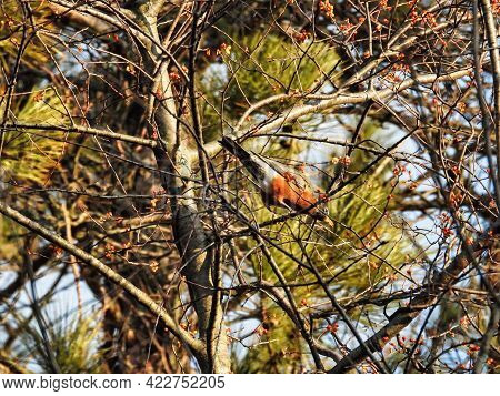Robin In A Tree On A Winter Morning: An American Robin Is Perched High In A Tree Keeping Warm On A C
