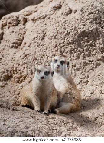 Pair Of Meerkats Posing