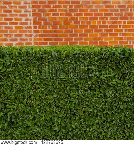 Green Tall Hedge With Part Of The Brick Wall