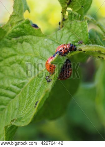 Several Colorado Beetle Larvae Eat The Potato Leaf. Close Up. A Bright Vertical Illustration About A