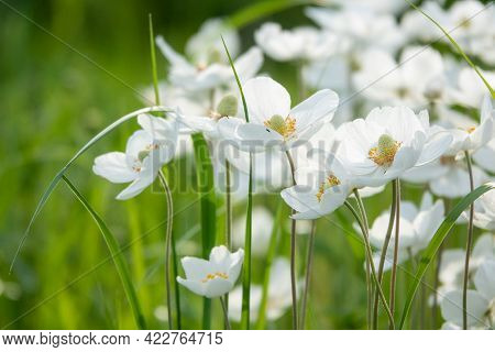 Japanese Anemone Elfin Swan - Latin Name - Anemone Japonica Elfin Swan In Garden