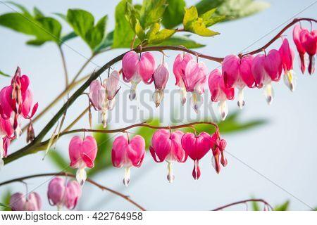 Dicentra - Bleeding Heart Flowers In Garden On Blue Sky