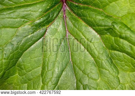 Close-up Of Big Green Leaf In The Spring Garden. Macro Photography Of Nature.