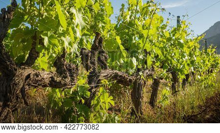 Twisted Stems And Young Shoots Of Vines In A Vineyard At Calvi In The Balagne Region Of Corsica
