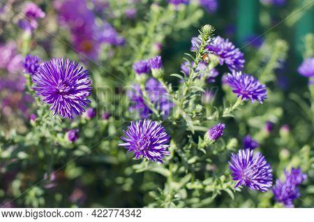Beautiful Tiny Purple Flowers Of Bushy Aster (aster Dumosus) In A Garden.