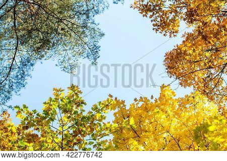 Perspective Up View Of Autumn Forest With Bright Orange And Yellow Leaves. Dense Woods With Thick Ca