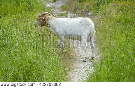 A White Goat On A Footpath In High Grass Seen In New Zealand