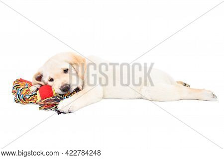 Funny Cute Labrador Puppy Lying With A Toy For Dogs Isolated On White Background