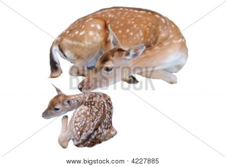 Doe And Fawn Isolated On White