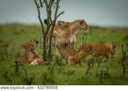 Lion Cub Climbs Bush Near Other Lions